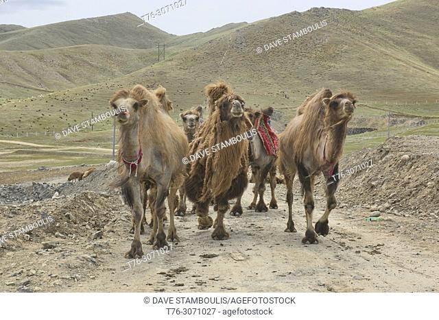 Bactrian camel herd on the Kazakh grasslands, Keketuohai, Xinjiang, China