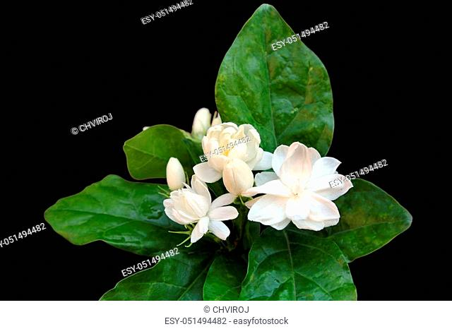 Fresh Jasmine flowers with leaves isolated on black background
