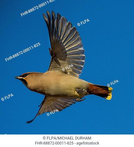Waxwing in flight (Bombycilla garrulus)