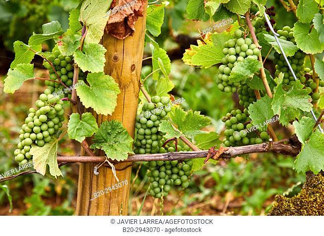 Vineyards, Côte de Beaune, Santenay, Côte d'Or, Burgundy Region, Bourgogne, France, Europe