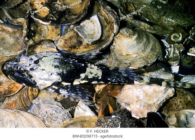 Father Lasher, shorthorn sculpin, bull rout, bull-rout, short-spined seascorpion (Myoxocephalus scorpius, Cottus scorpius), sitting on seashells
