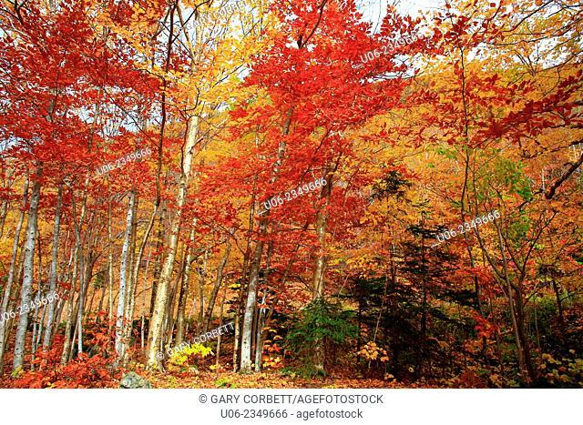 The Acadian Forest fall foliage in Cape Breton Highlands National Park, Nova Scotia, canada