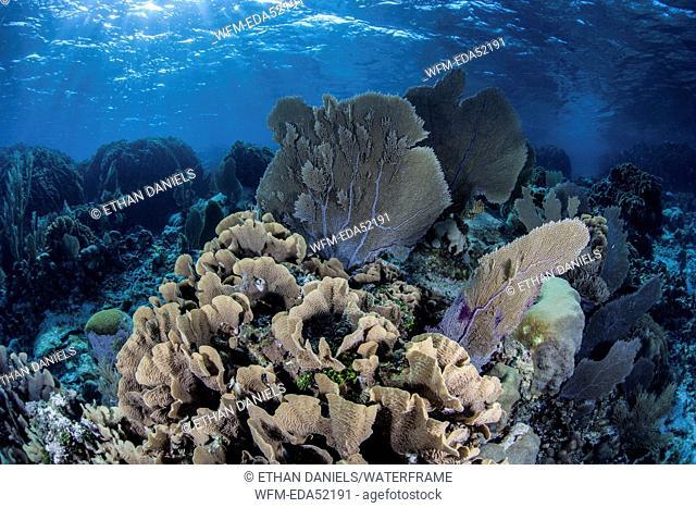 Caribbean Coral Reef with Venus Sea Fan, Gorgonia flabellum, Turneffe Atoll, Caribbean, Belize