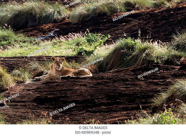 Lioness (Panthera leo) resting on a Kopje known as Lion Rock in Lualenyi reserve, Tsavo, Kenya