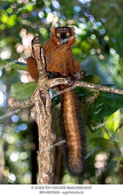 Black lemur (Eulemur macaco), Ankanin Ny Nofy, Madagascar