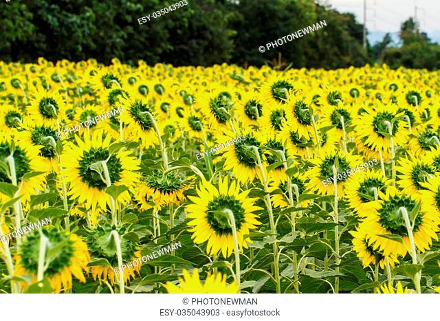 Sunflowers in Lopburi, Thailand