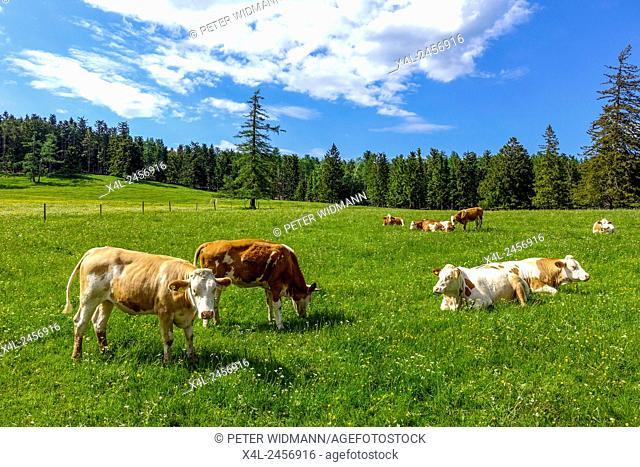 Cows on the pasture, Maumau Meadow, Losenheim, Schneeberg region, Lower Austria, Austria