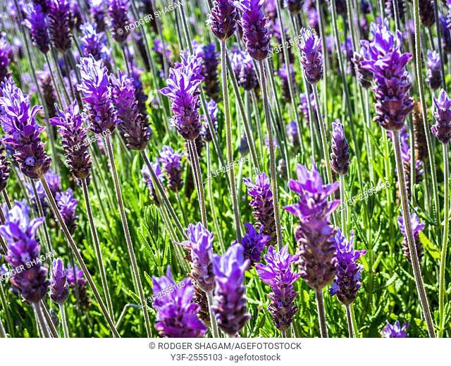 French Lavendar blooms,