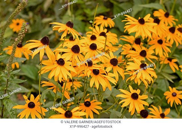 This photo shows many black eyed susan flowers in a carefree pattern Background is intentionally blurred for artistic effect