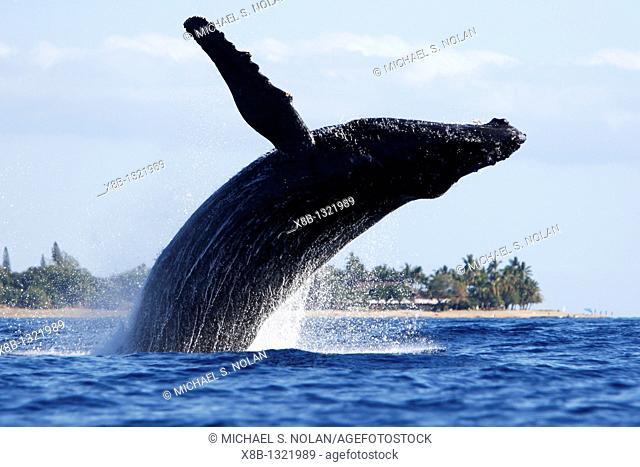 Adult humpback Whale Megaptera novaeangliae breaching near Mala Wharf in the AuAu Channel, Maui, Hawaii, USA  Pacific Ocean