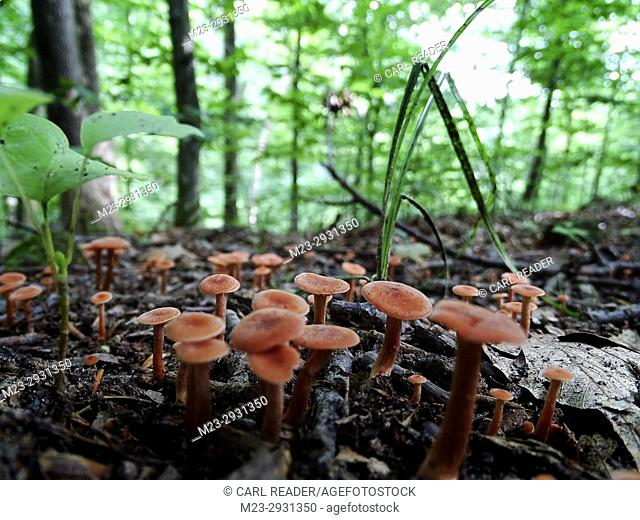 A cluster of reddish mushrooms on the forest floor, Pennsylvania, USA