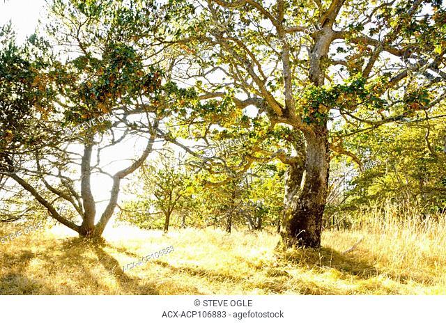 Garry Oak (Quercus garryana) trees in Helliwell Provincial Park, Hornby Island, BC