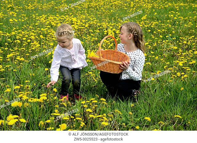 Two girls, 9 and 4 years old, in a field with dandelion, Ystad, Sweden, Europe