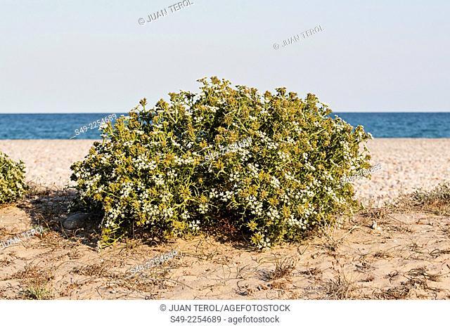 Dune flowers. El Saler, Valencia, Spain