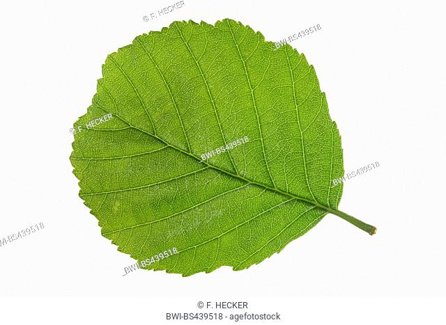 common alder, black alder, European alder (Alnus glutinosa), leaf, lower side, cutout
