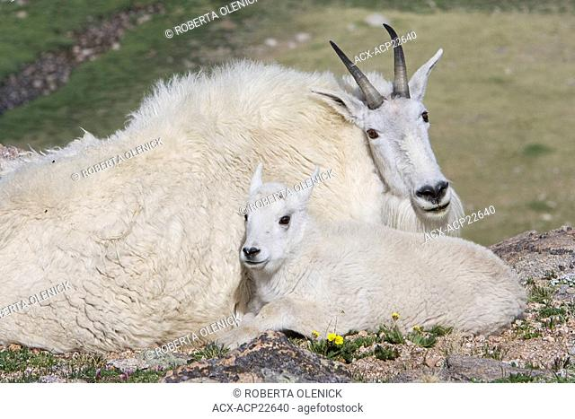 Mountain goat Oreamnos americanus, kid bedded down next to nanny, Mount Evans Wilderness Area, Colorado, USA. The nanny is shedding her winter coat