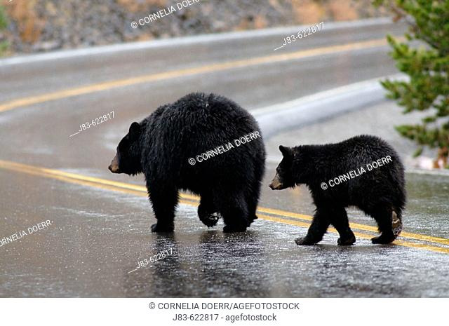 Black Bear with cub crossing the road (Ursus americanus), Yellowstone National Park, Wyoming, USA