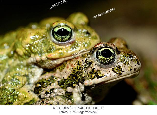 Natterjack toads 'Bufo calamita' in Lozoyuela, Madrid, España