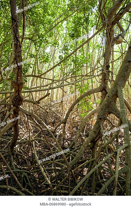 U.S. Virgin Islands, St. John, Leinster Bay, mangrove swamp detail