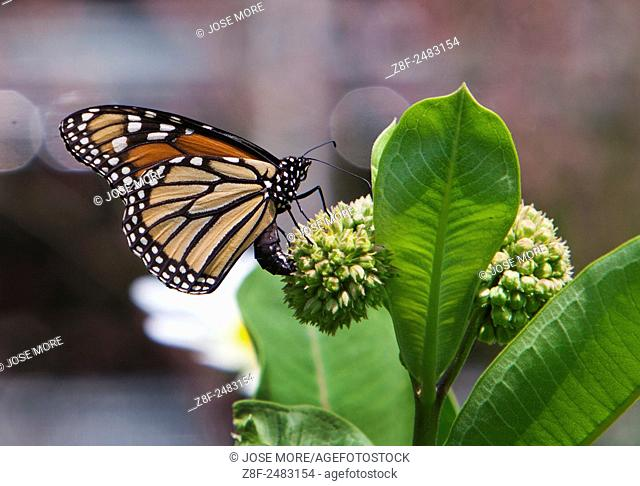 The monarch butterfly, Danaus plexippus, is a milkweed butterfly in the subfamily Danainae, in the family Nymphalidae. It may be the most familiar North...