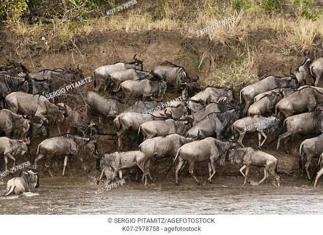 Wildebeest (Connochaetes taurinus) crossing the river Mara, Masai Mara, Kenya