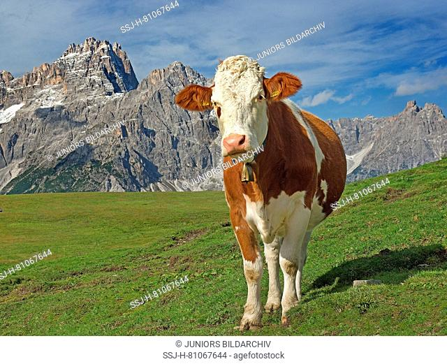 Domestic Cattle, Simmental Cattle. Juvenile cow on an alpine meadow with Dreischusterspitze in background. Sextner Dolomites Natural Park, South Tyrol, Italy