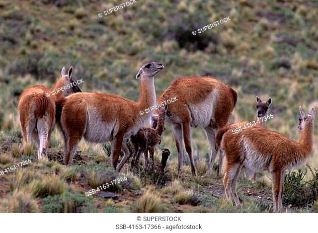 CHILE, TORRES DEL PAINE NAT'L PARK, GUANACOS, FEMALES WITH NEWLY BORNS