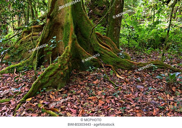 trunk and roots of a large tree, Uganda, Bwindi Impenetrable National Park