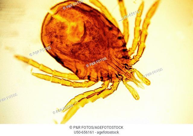 Ixodes ricinus, Acari: Ixodidae, tick vector for Lyme disease, borreliosis, caused by spirochete bacteria from the genus Borrelia, 50 X optical microscope