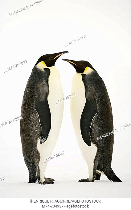 A pair of Emperor penguins Aptenodytes forsteri performa a courtship ritual dance, Show Hill Island, Weddell Sea, Antarctica