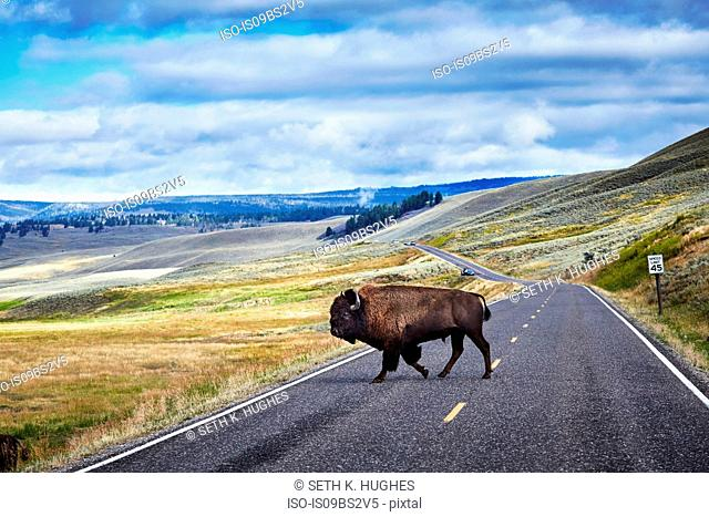 Bison crossing road, Yellowstone National Park, Canyon Village, Wyoming, USA