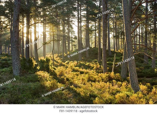 Caledonian pine wood, Abernethy Forest, Cairngorms National Park, Scotland, April 2007