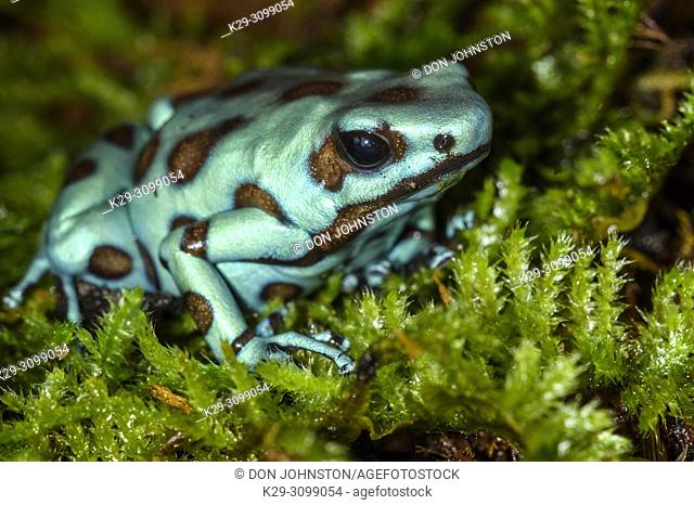 "Dendrobates auratus """"microspot"""", Understory Enterprises, Captive raised, Native to: Panama"