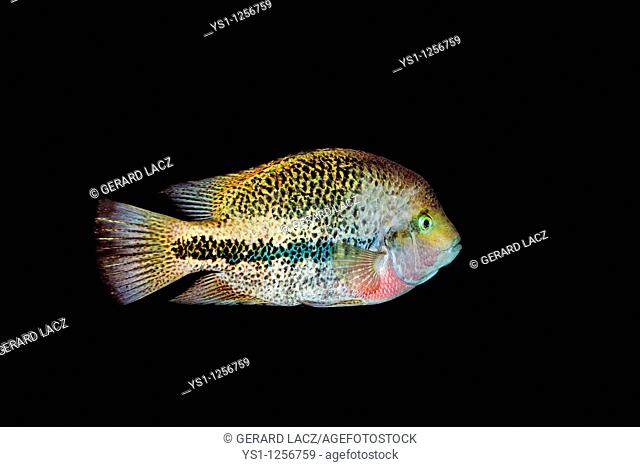 Cichlid, Protomelas taeniolatus, Stock Photo, Picture And