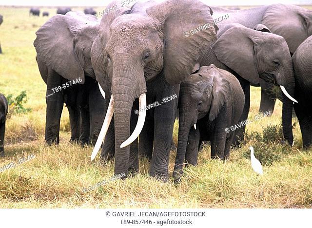 African Elephant herd Loxodonta africana
