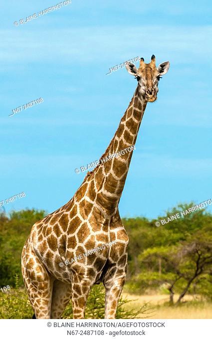 Giraffes, Nxai Pan National Park, Botswana