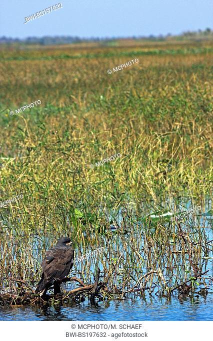 everglade kite (Rostrhamus sociabilis), sitting on branch in wetland, USA, Florida, Lake Kissimmee
