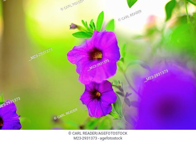 A close-up of petunias in soft-focus, Pennsylvania, USA