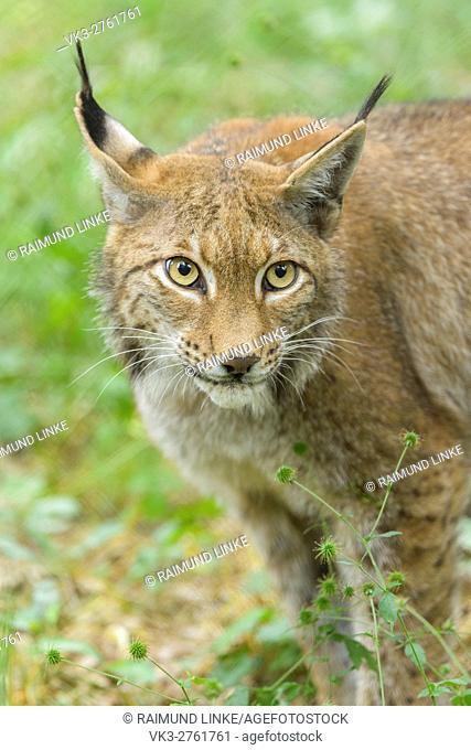 European Lynx, Lynx Lynx, Portrait, Germany