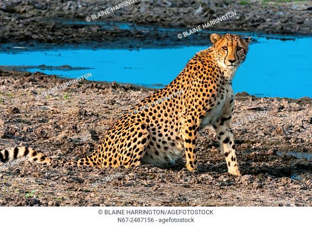 Cheetah, near Kwara Camp, Okavango Delta, Botswana