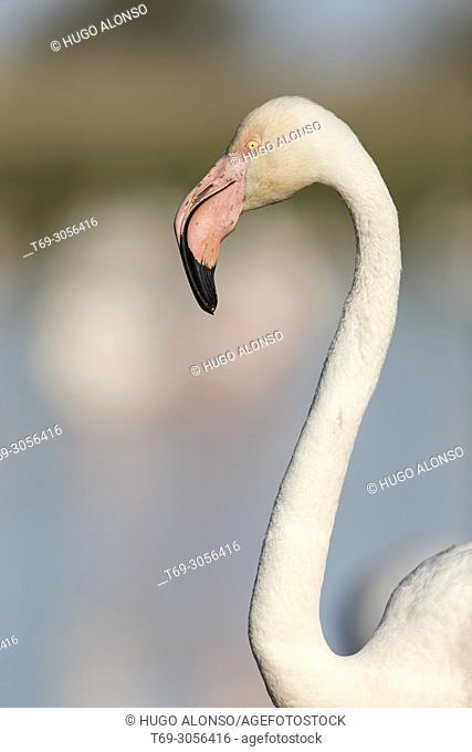 Portrait Greater flamingo (Phoenicopterus roseus). Camargue. France