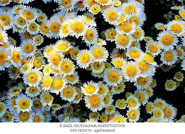 Chrysanthemum garden manita