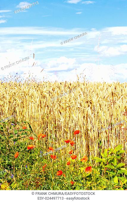 Field of Wheat and Poppies in Summer