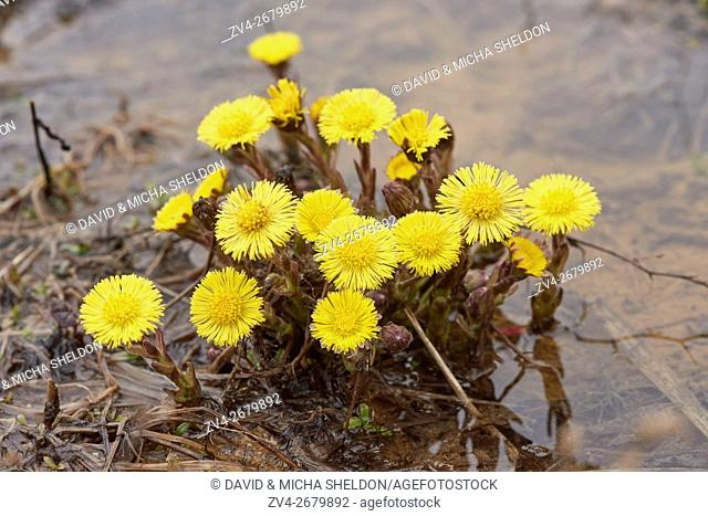 Close-up of coltsfoot (Tussilago farfara) blooming in a sandpit in spring