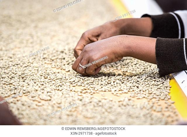 Addis Ababa, Ethiopia - Ethiopian female workers sorting arabica coffee beans to export at Oromia Coffee Farmers Cooperative