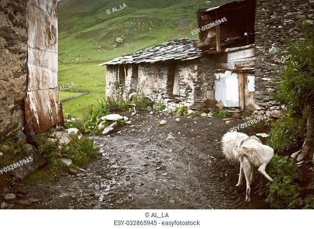 Funny sheep dogs in Ushguli, Svanetia green region in Georgia