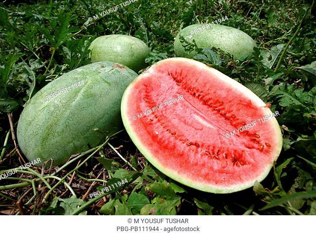 watermelon field at Gopalgonj district of Bangladesh