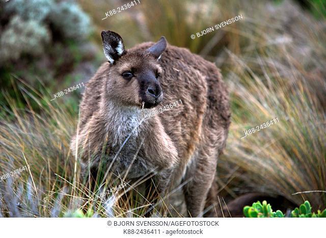 Kangaroo. Kangaroo Island, South Australia