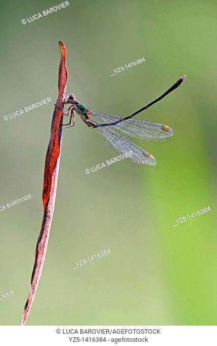 Ischnura elegans - Blue tailed damselfly - Gymnastics