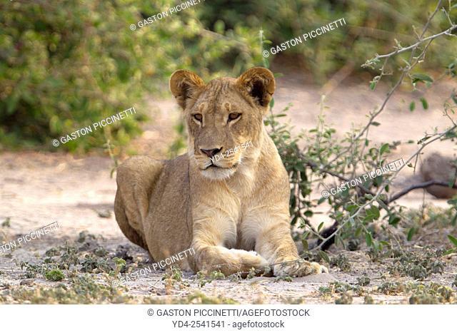 Lion (Panthera leo) - Young, Chobe National Park, Botswana